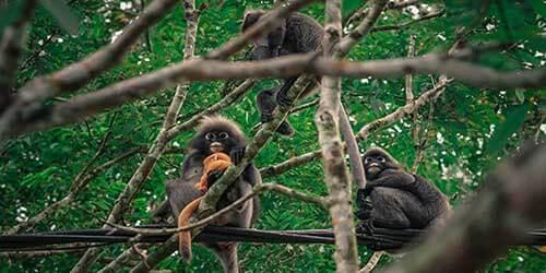 Singe de Dusky Point de vue Jungle